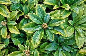 почвопокровные растения фото описание смотреть