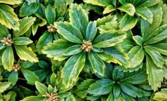Многолетники: 4 менее известных почвопокровных растений