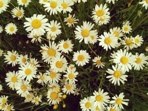 summer-flower-2367172_960_720