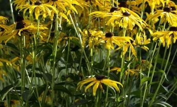 Рудбекия – яркое солнце в саду…