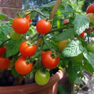 tomat-vilma-1