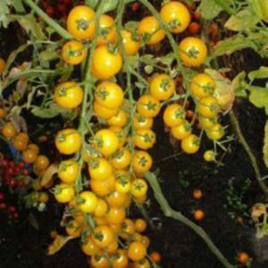 томаты фото, описание, смотреть