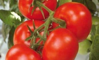 Какие бывают томаты. Разнообразие групп и сортов