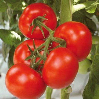Какой сорт помидоров выбрать для выращивания