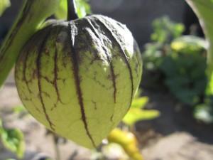 физалис овощной фото, описание, смотреть