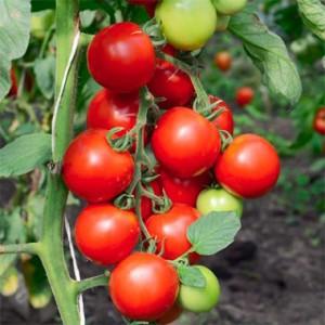 tomato-cristmas-grapes