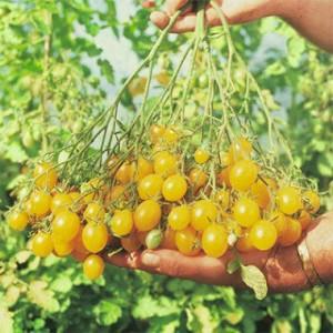 tomato-ildi