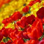Какими бывают тюльпаны?