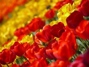 tulip-67410_960_720
