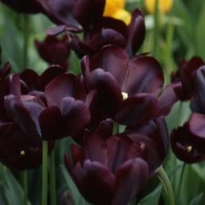 tulip-cafe-noir-3