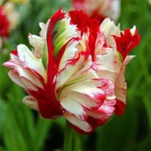 tulip-estella-rijnveld