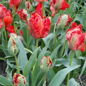 tulip-exotic-parrot-1