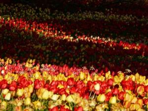 tulip-field-53101_1280