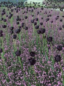 Черные цветы фото описание смотреть