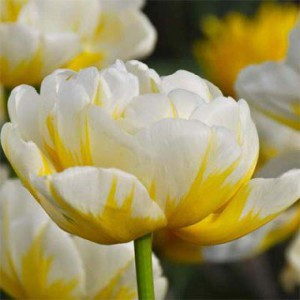 tulip-flaming-evita-1