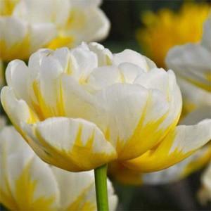 tulip-flaming-evita-1