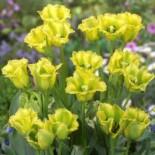 Многоцветковые тюльпаны – чудо селекции