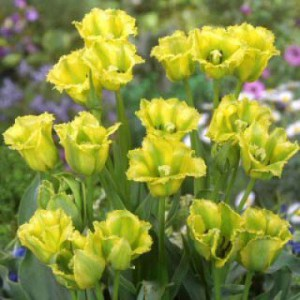 Многоцветковые тюльпаны фото, описание, смотреть