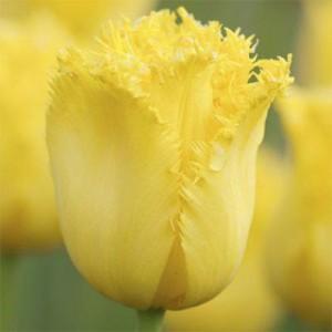 Бахромчатые тюльпаны фото, описание, смотреть