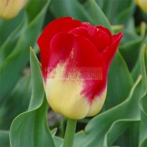 tulip-match-2