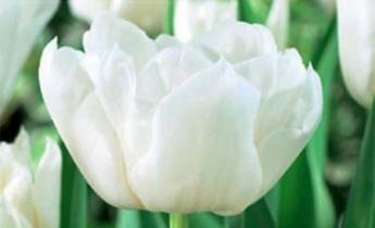Махровые тюльпаны: Новинки сезона Осень – 2015…