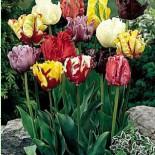 Как вырастить попугайные тюльпаны в своем саду?
