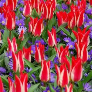 Тюльпаны Грейга, Кауфмана и Фостера фото, описание, смотреть