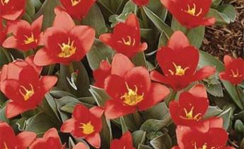 Тюльпаны Грейга, Кауфмана и Фостера…