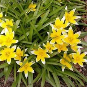 луковичные цветы фото, описание, смотреть