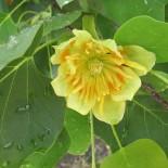 А вы видели тюльпановое дерево?
