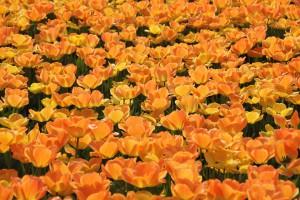 tulips-10296_960_720