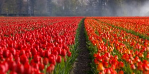 tulips-21690_960_720