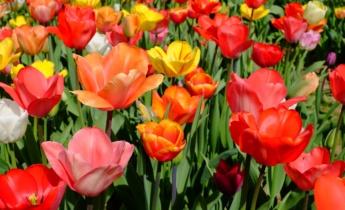 Как и какие выбрать тюльпаны?