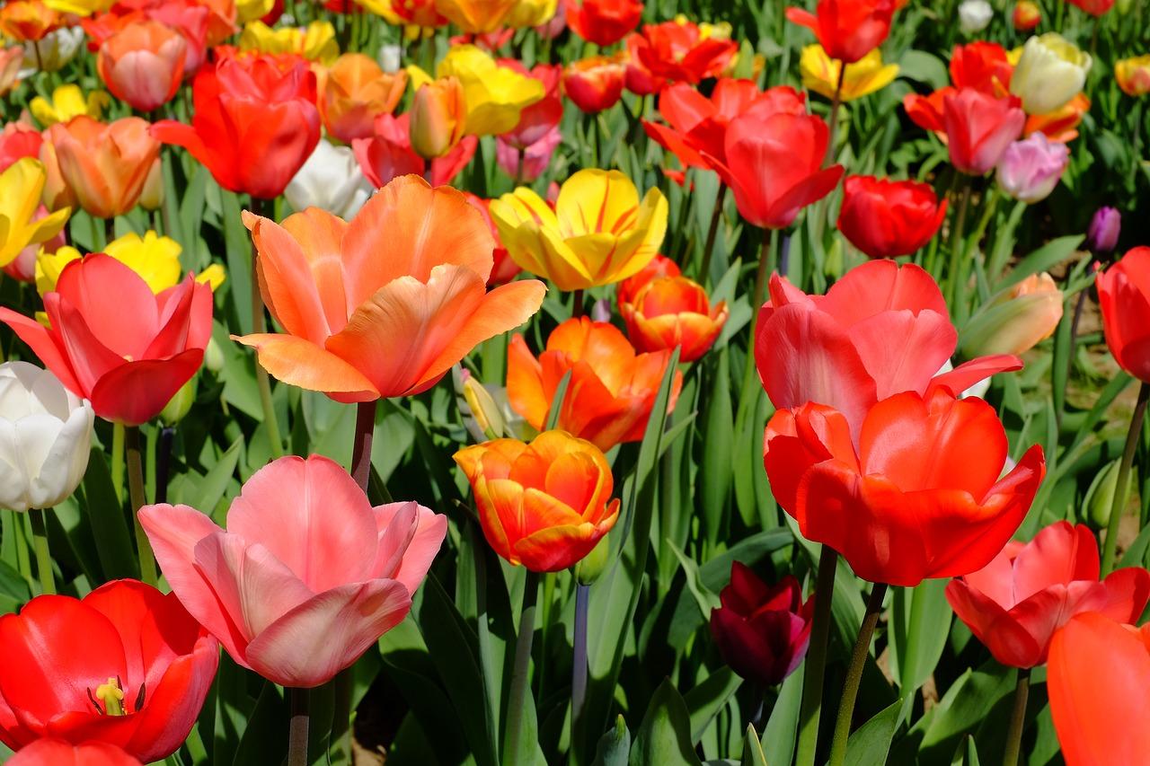 выбор тюльпанов фото описание смотреть