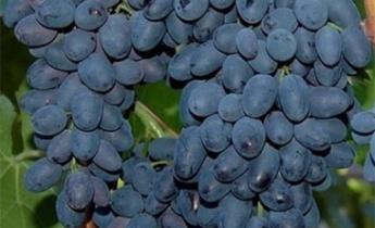Виноград сорта Молдова – устойчивый сорт к морозам, болезням и филлоксере