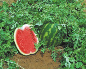 watermelon_top_gun-syngenta