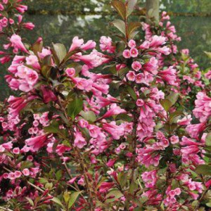 weigela_flor._foliis_purpureis_4_1