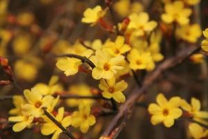 winter-jasmine-416286_1280