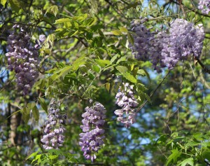wisteria-407118_960_720