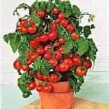 Какой томат подойдет для выращивания на балконе?