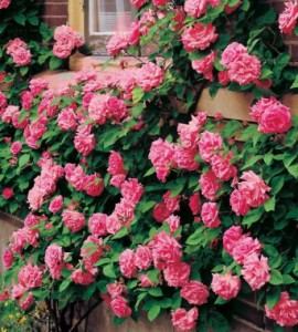 zephirine-drougin-antique-climbing-rose